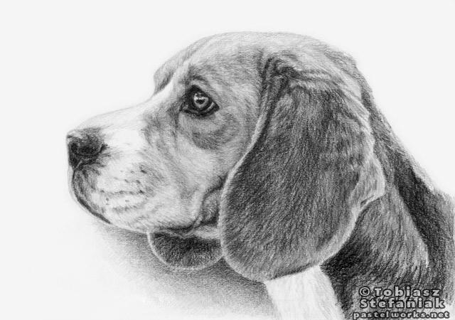 Beagle Dog Drawing Pic
