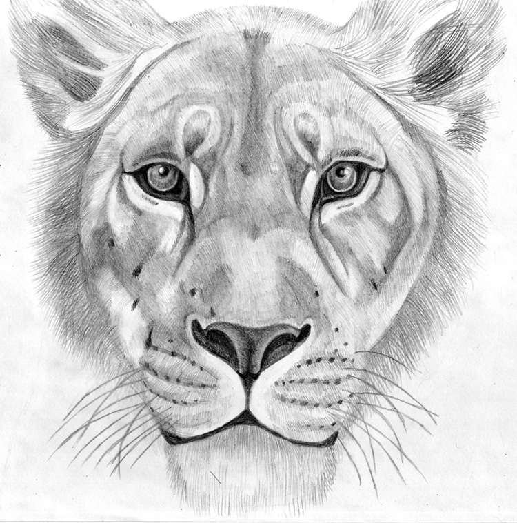 Lioness Drawing Sketch